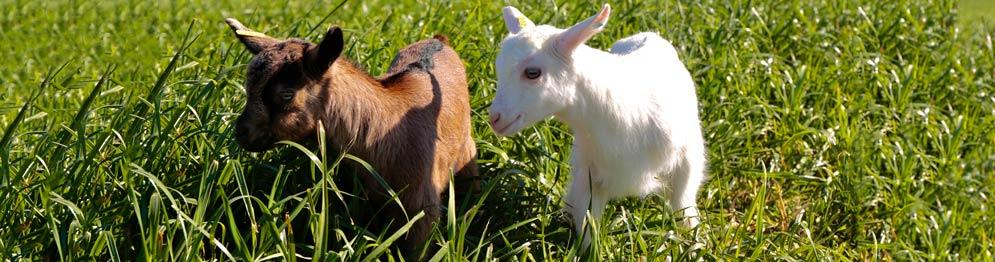 imagem 02 - caprinos de leite - Barão e Barão