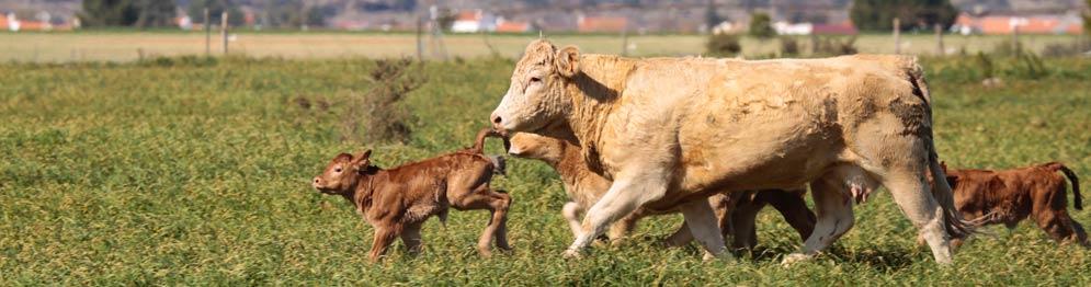 imagem 03 - bovinos de carne - Barão e Barão